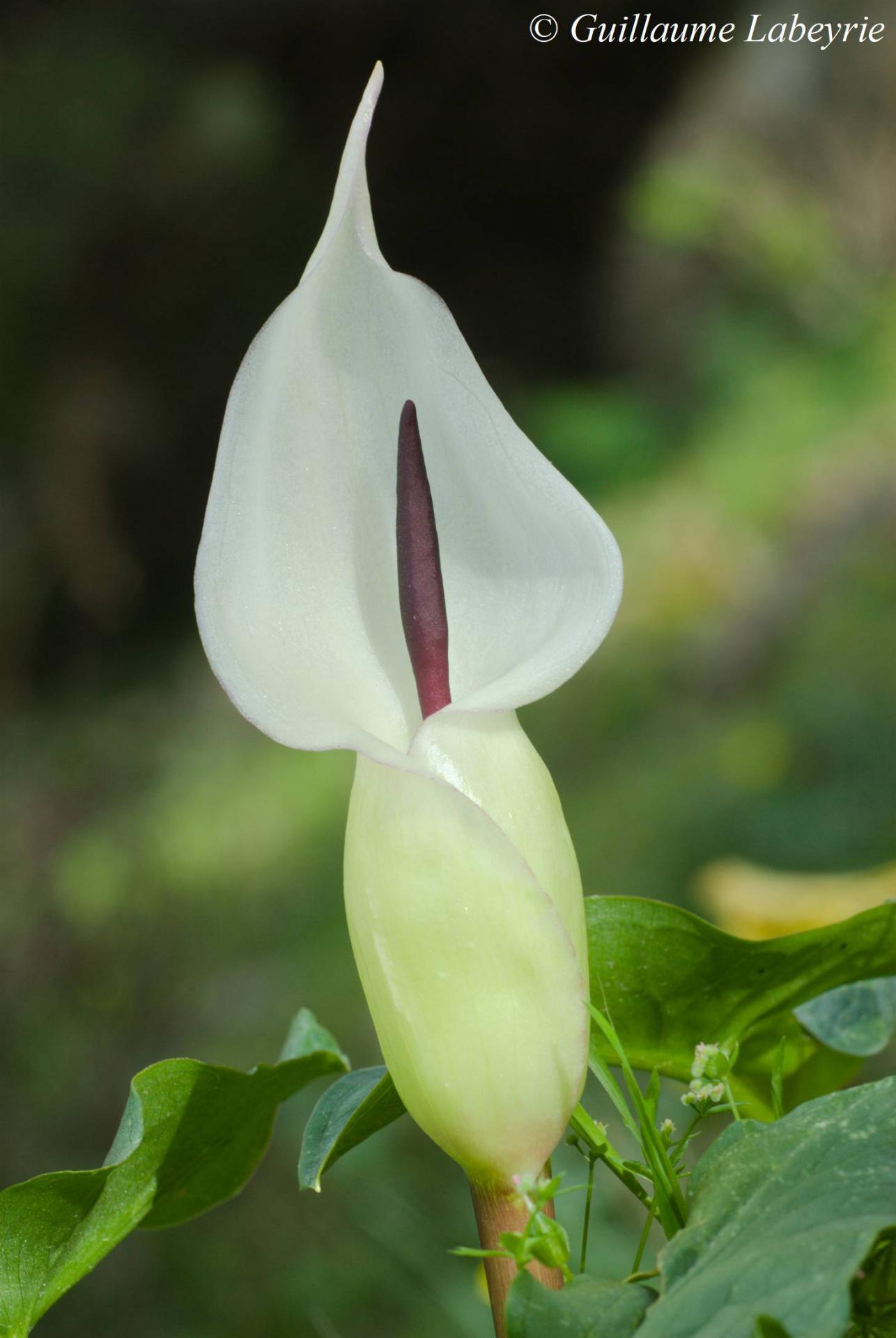 Arum idaeum