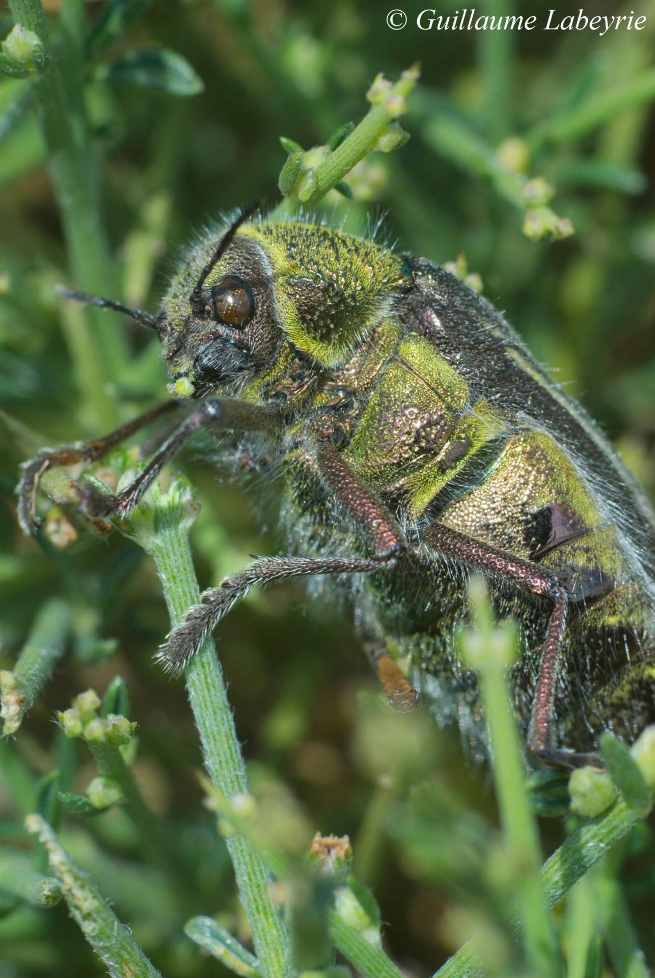 Julodis pubescens