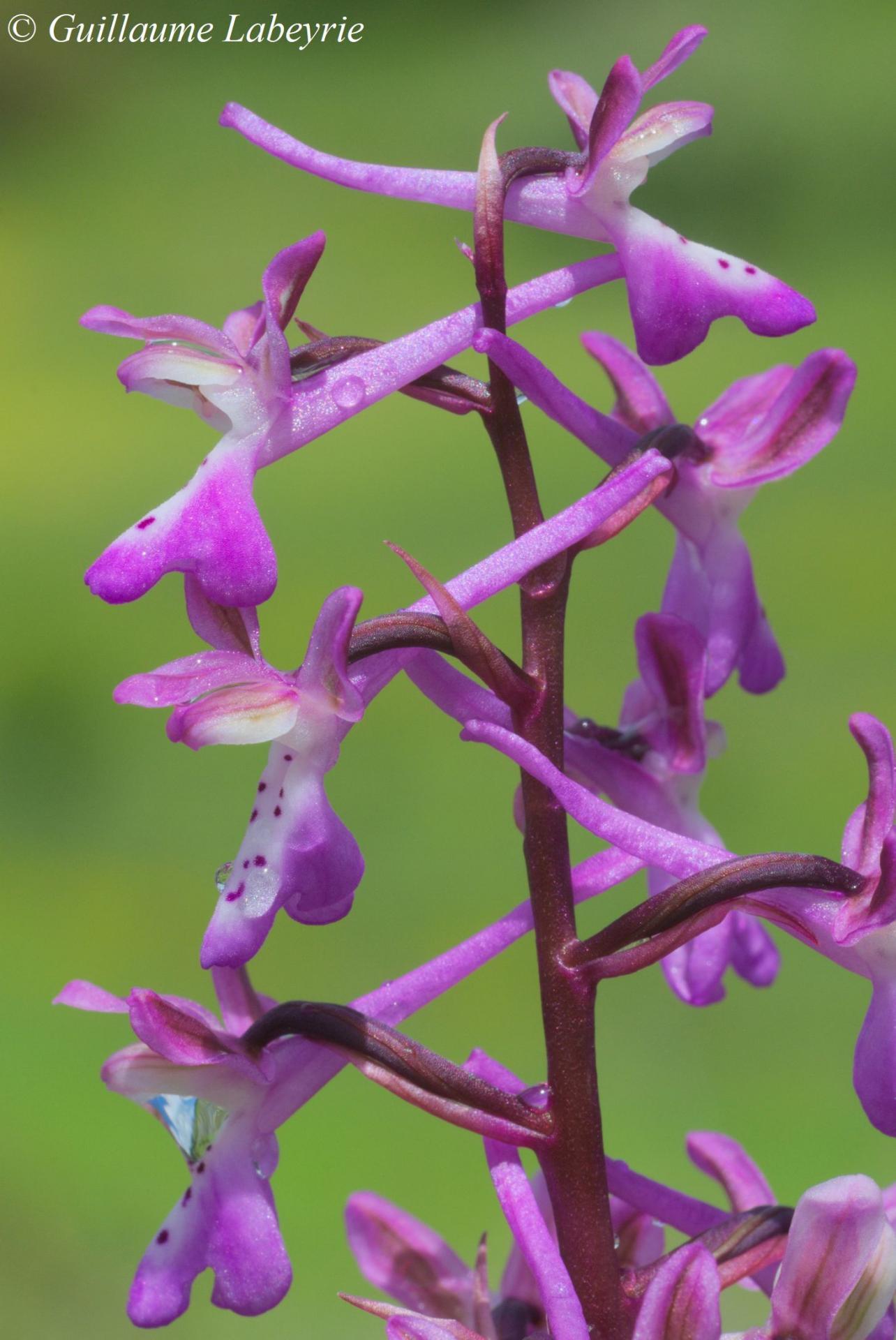 Orchis sitiaca