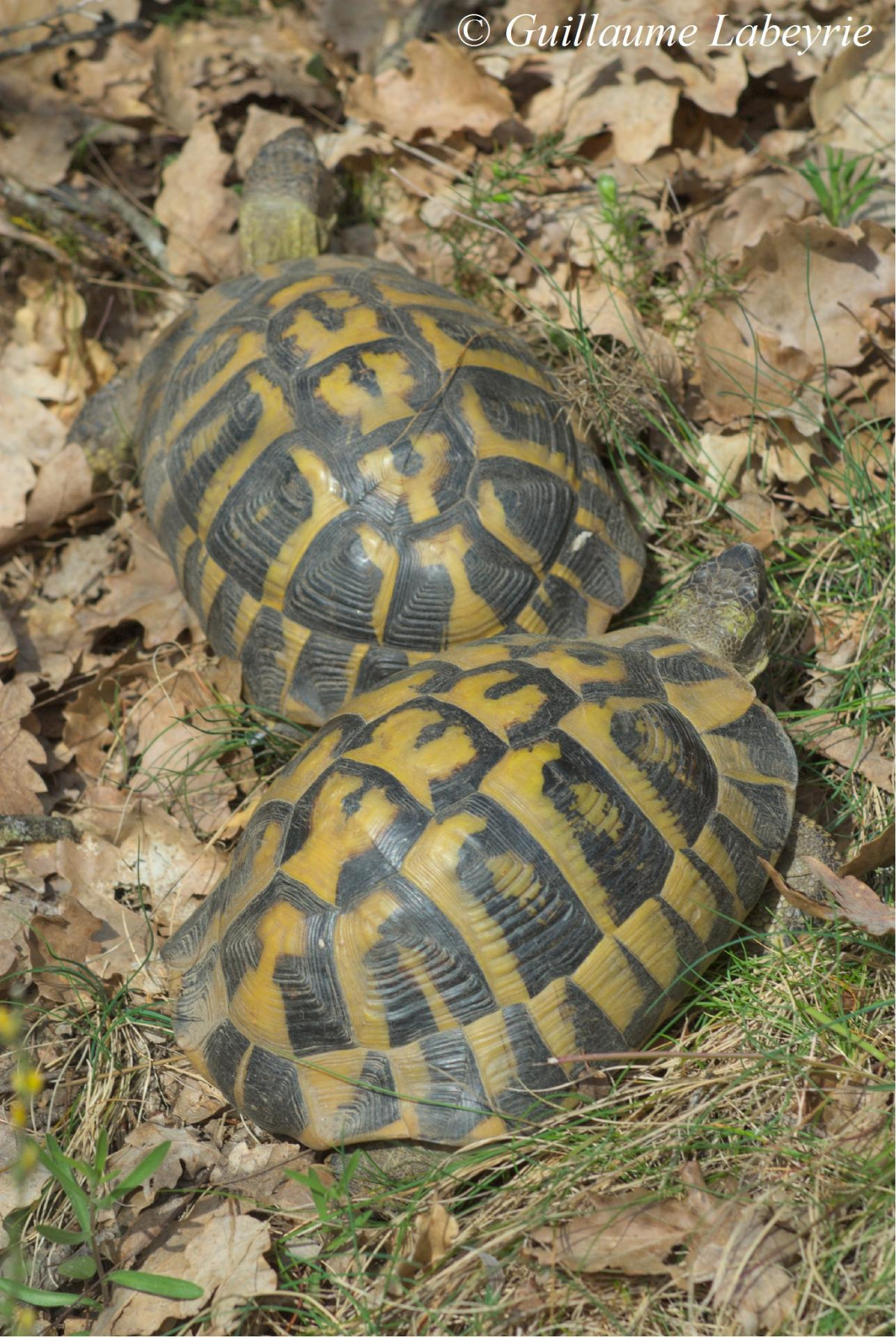 Hermann's tortoises in their habitat