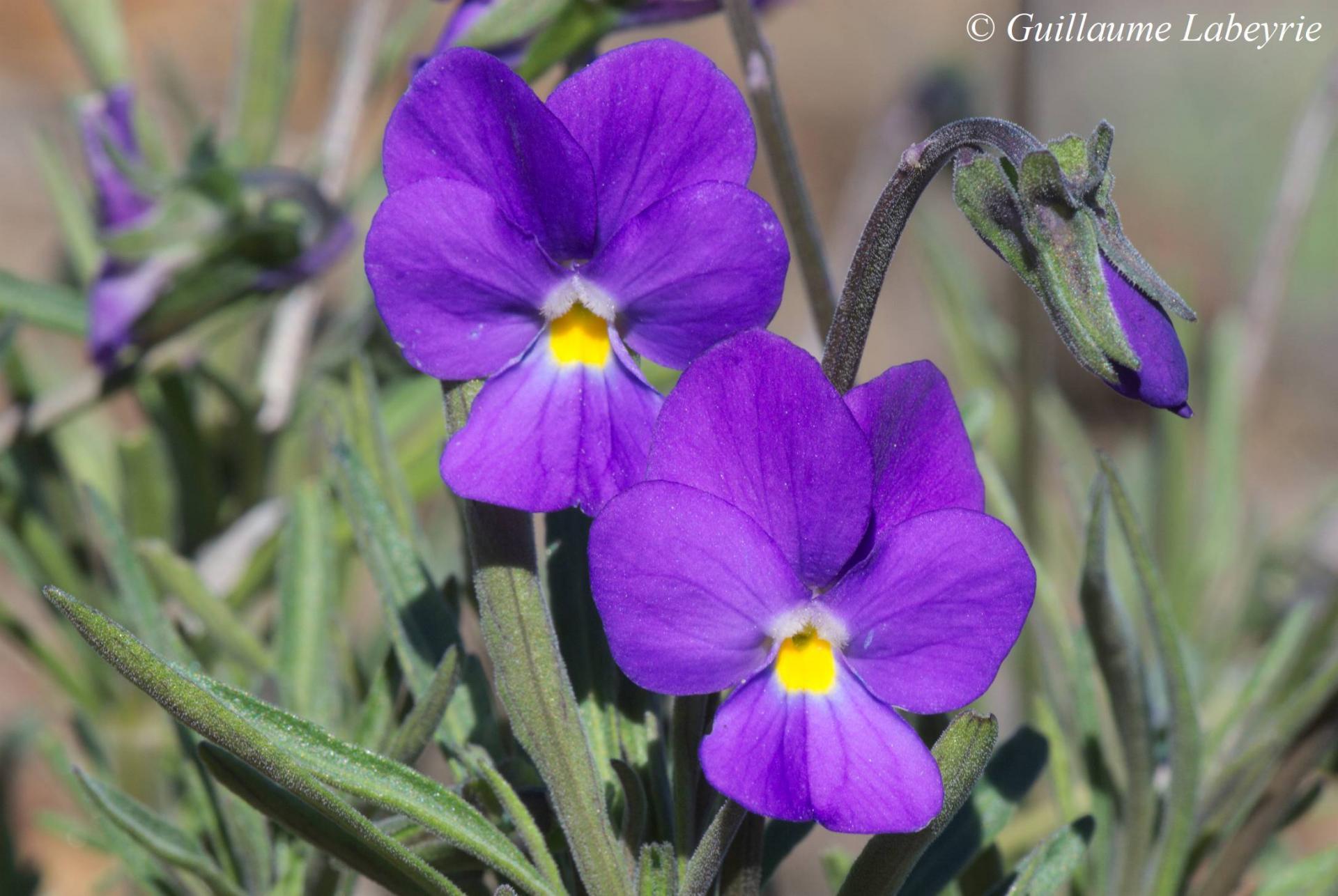 Viola palmensis